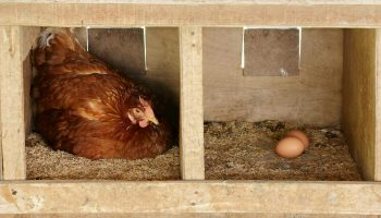 The Best Chicken Nesting Boxes