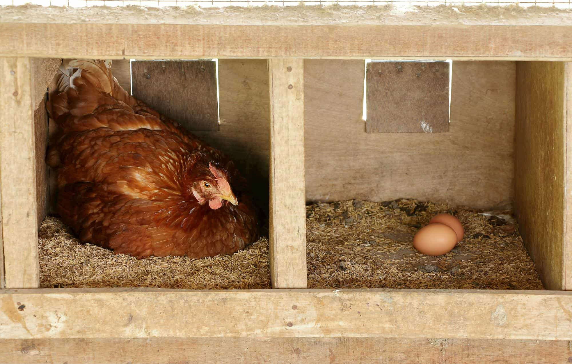 chicken in a nesting box