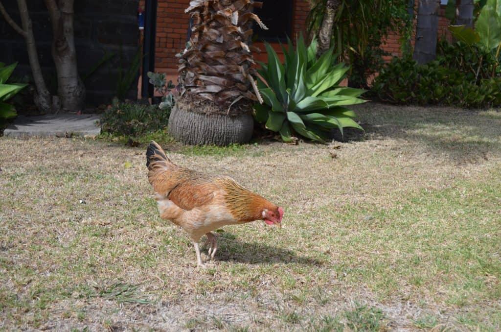 Choice feeding for chicken