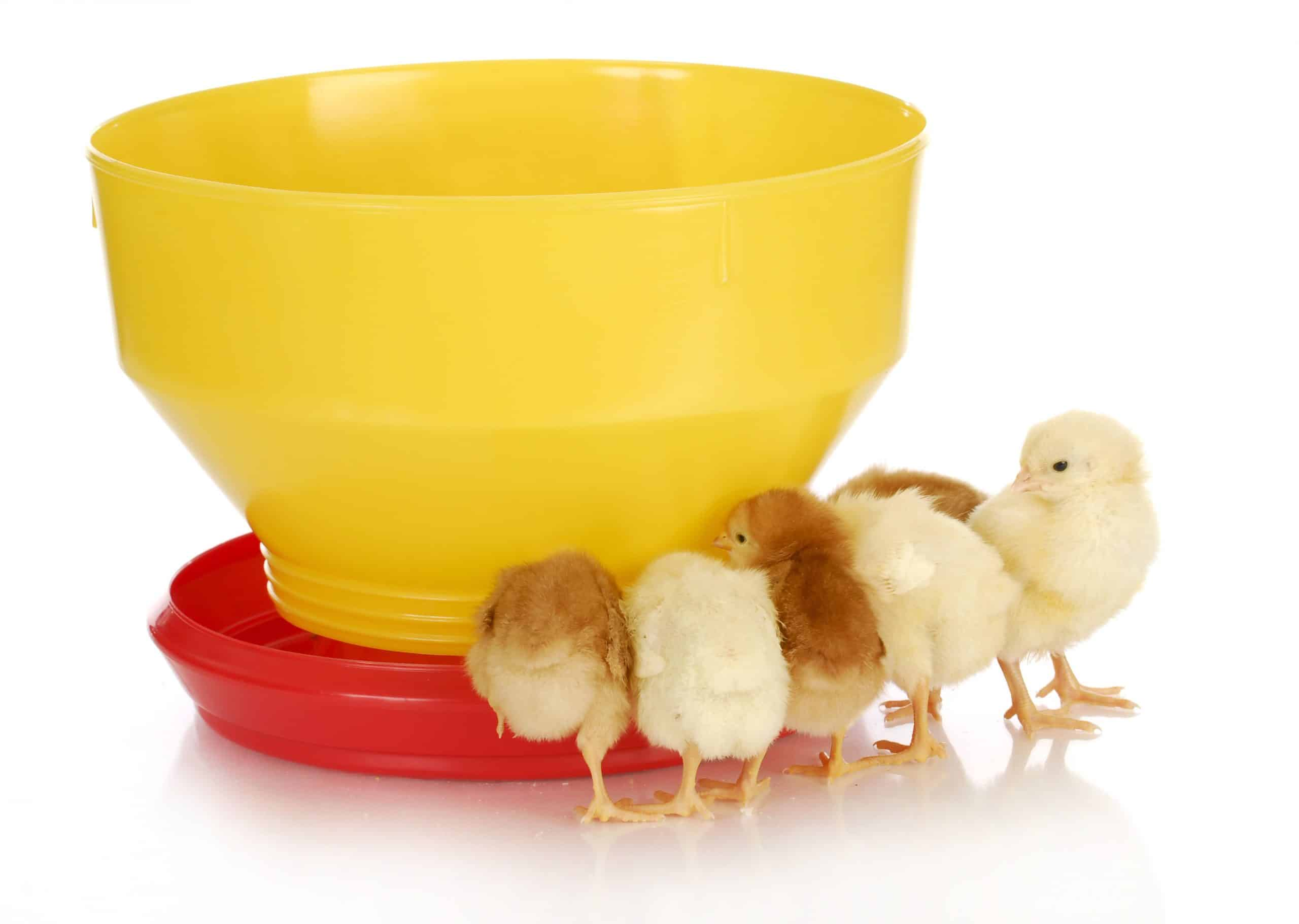 chicks drinking water