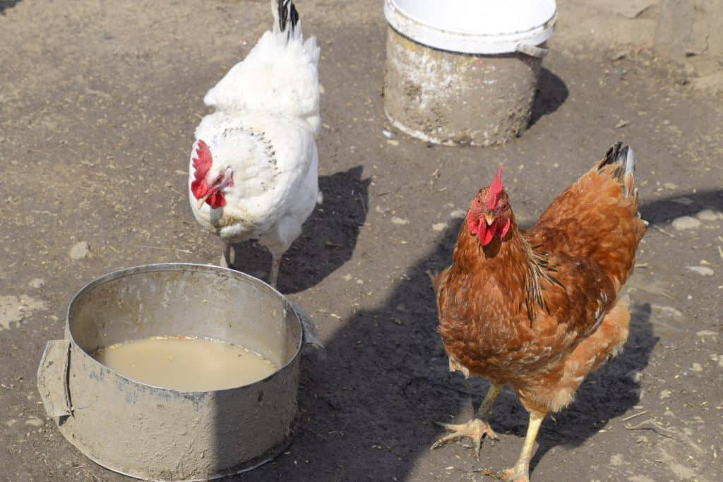 food and water for chicken