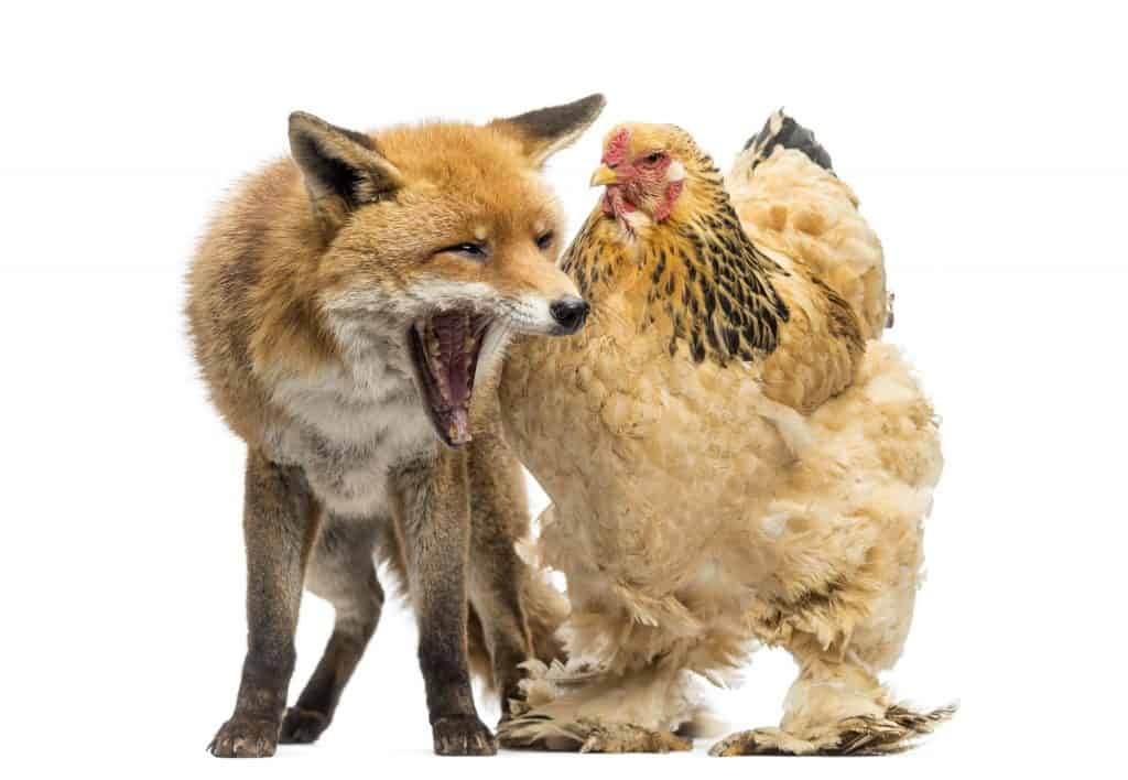 fox chicken protection