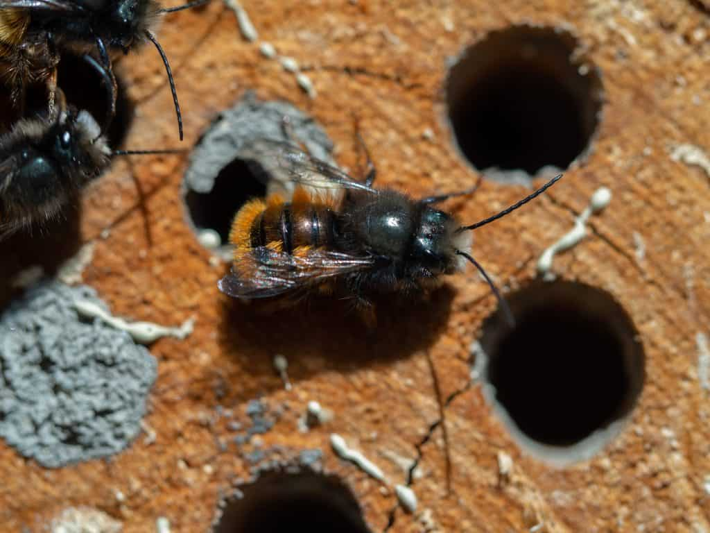 What Are Mason Bees?
