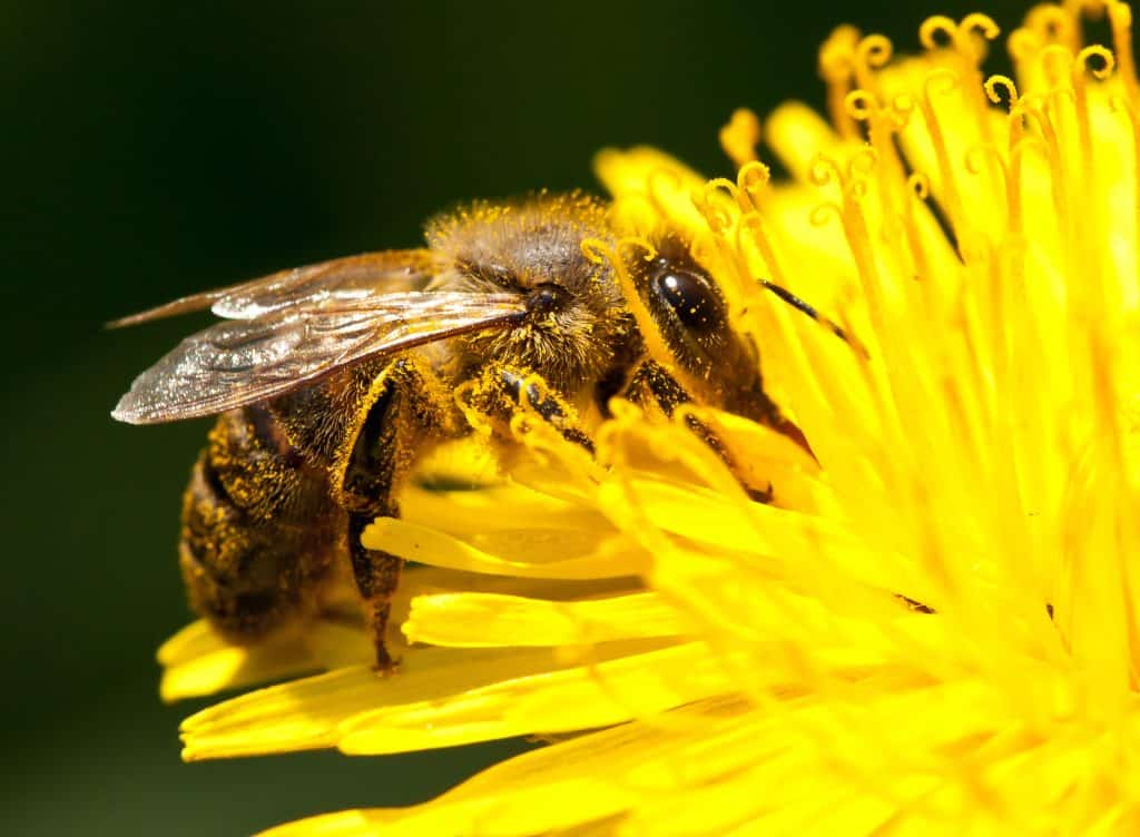 How Long Does a Honey Bee Live?