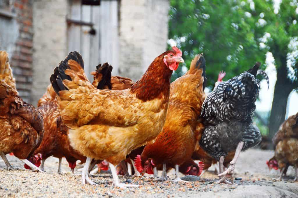 poor chicken food