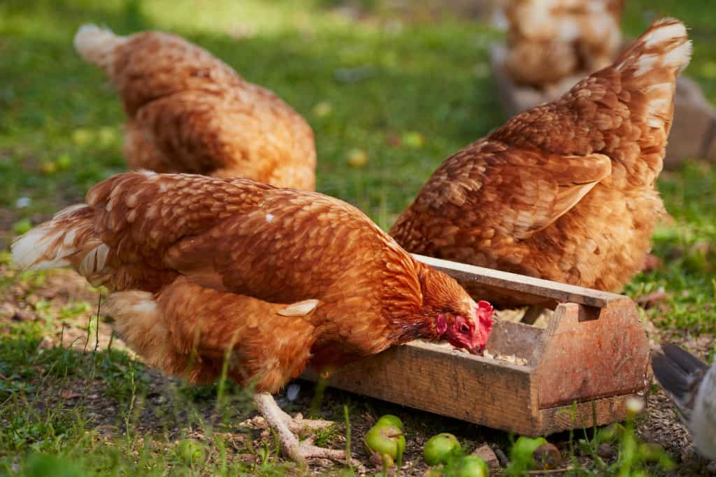 Type of Feed for chicken