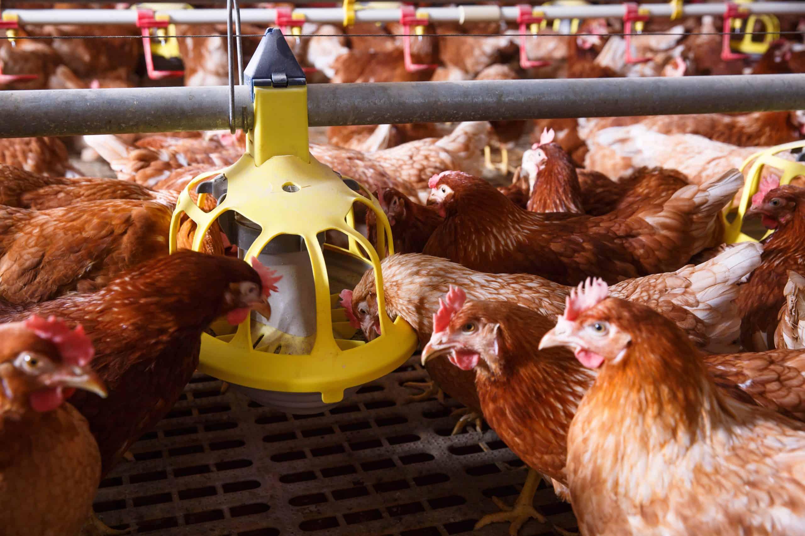 The Best Chicken Feeder for Backyard Chickens